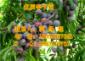 贵州优质脆红李品种